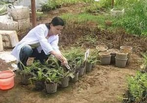 Nghiên cứu loại bỏ ô nhiễm đất bằng dương xỉ và cỏ mần trầu